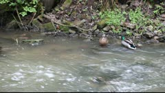 Ducks swimming in a mountain stream Stock Footage