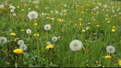 Large field of dandelions Stock Footage