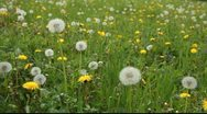 Large field of dandelions Stock Footage