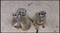 Meerkats3_1080 Stock Footage