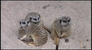 Stock Video Footage of meerkats3_1080