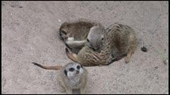 Meerkats_1 1080 Stock Footage