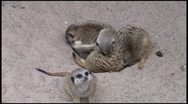 Stock Video Footage of meerkats_1 1080