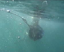 Great White Shark Open Mouth At Cage & Bait Stock Footage
