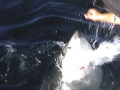 Stock Video Footage of Great White Shark