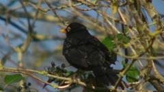 A Blackbird, turdus merula, three quarter shot.  Turning its head. - stock footage