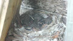 Forest lark bird feeding nestlings in the nest, wildlife close up Stock Footage