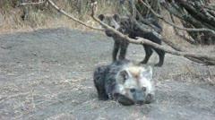 Hyena cubs - stock footage