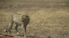 Cheetah walks away from fresh kill Stock Footage