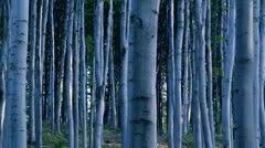 Birch forest - stock footage