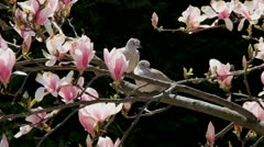Magnolia Stock Footage