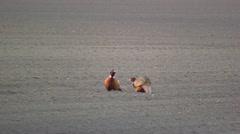 Pheasants Stock Footage