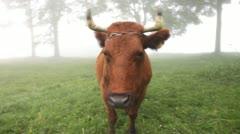 Cow in fog, portrait Stock Footage