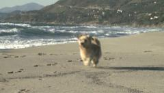 puppy dog running and coming back slow motion on italian beach - stock footage