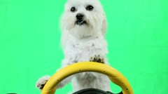 Dog Drives Car Green Screen Stock Footage