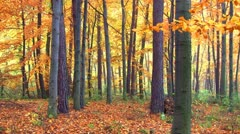 Forest at autumn Stock Footage