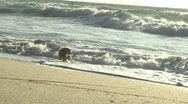Stock Video Footage of dog running away from water slow motion