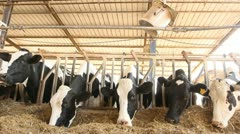 Milking Cows in the farm Cow Milk dairy barn cowshed - stock footage