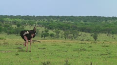 Ostrich Stock Footage