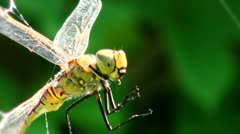 Dragonfly caught in the web CU - stock footage