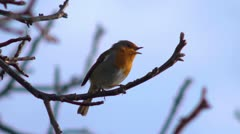 Robin singing in a tree, with audio. - stock footage