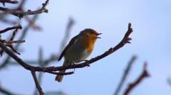 Robin laulaa puussa, joissa on ääni. Arkistovideo