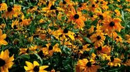 Stock Video Footage of rudbeckia