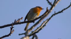 Robin singing in a tree, 50fps slow motion. Stock Footage