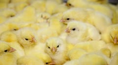 Baby chicken, small and very beautiful Stock Footage