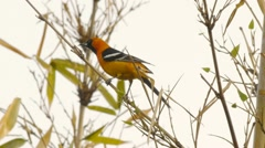 Oriole Male Bird Mating Dance (HD) - stock footage