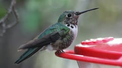 Broad-Tailed Hummingbird Close-up Stock Footage