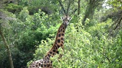 Backpacker approaches giraffe Stock Footage
