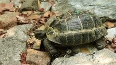 Single Turtle Stock Footage