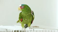 Parrot Climbs On Hand (HD) Stock Footage