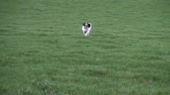 Springer spaniel dog Stock Footage