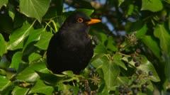 Indecision.  A blackbird choosing berries. 50fps slomo Stock Footage