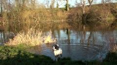 Springer spaniel dog Swim Stock Footage