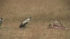 Cheetah and vultures interact at fresh kill Stock Footage