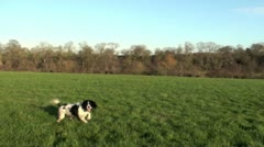 Springer spaniel dog in a field - stock footage