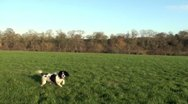 Stock Video Footage of Springer spaniel dog in a field