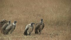 Cheetah eating while vultures move closer, part 2 Stock Footage