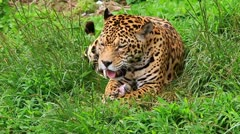 Large male jaguar eating, slow motion video - stock footage
