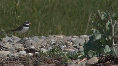 Common ringed plover Stock Footage