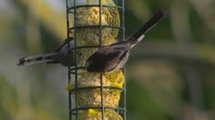 Aegithalos caudatus, the long tailed tit, several feeding on fatballs. Stock Footage