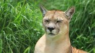 Mountain lion grooming in-house grass shot with , camera lockdown Stock Footage
