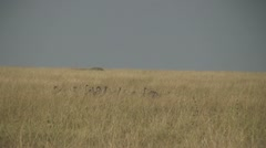 African vultures circle above carcass Stock Footage