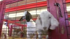 Two small goats with head through cage Stock Footage
