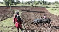 Plowing with Cattle Stock Footage