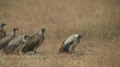 Cheetah eating while vultures move closer, part 4 Stock Footage