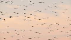 Blackbirds in flight HD - stock footage